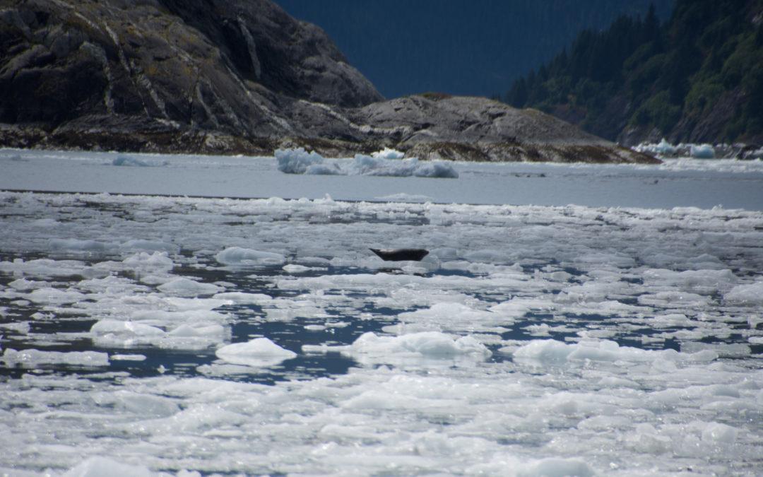 Phoques du Prince William Sound